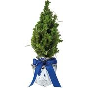 Echte mini kerstboom inclusief lampjes